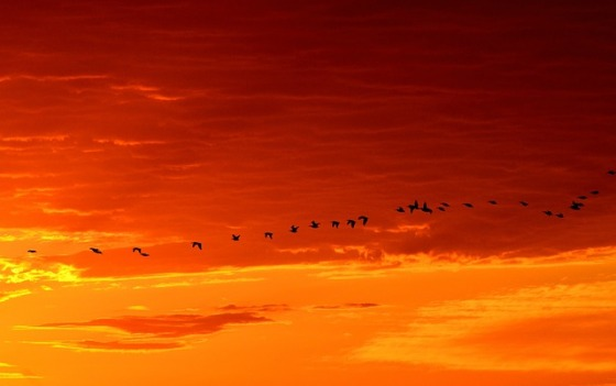 geese-1622692_640